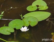 Лилия в чистой реке