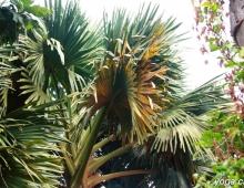 Громаднейшие пальмовые листья
