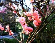 京都のピンクの桜です。 - Розовая сакура Киото