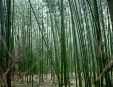 嵯峨野 - Сагано (Бамбуковый лес)