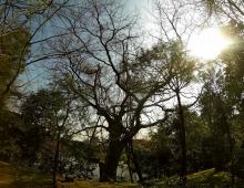 綺麗の木が金閣寺にあります。- Красивое дерево в Золотом храме.