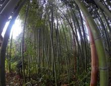 竹林 - Бамбуковая роща